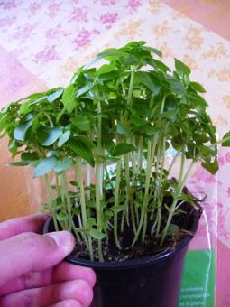 Comment planter le basilic - Comment couper le basilic ...