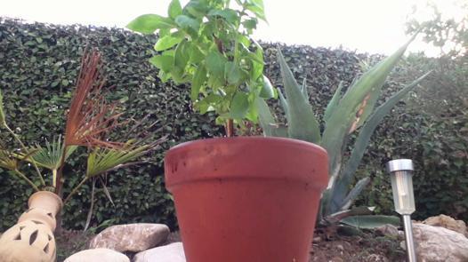 Comment planter le basilic - Ou planter le basilic ...